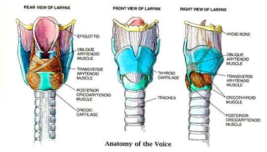 Larynx Anatomy Pictures Larynx Anatomy