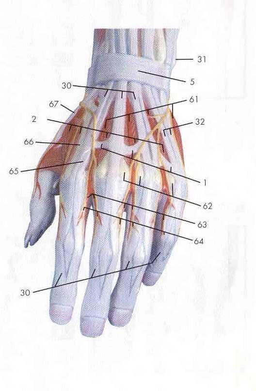 Upper limb anatomy 6