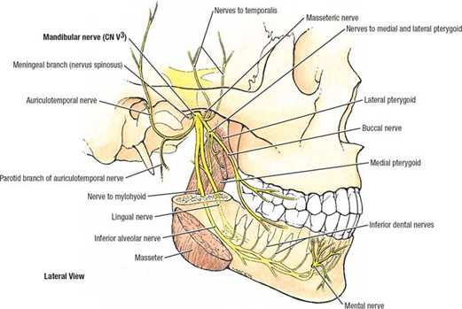 Trigeminal nerve anatomy