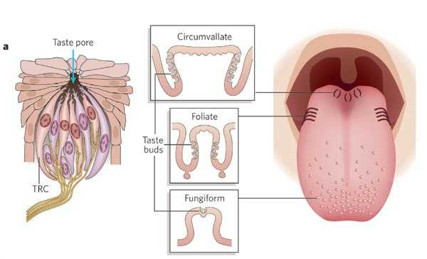 Healthy circumvallate papillae