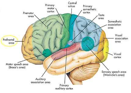 Anatomy of cerebrum