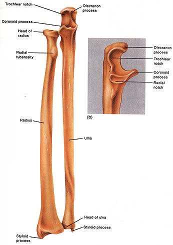 Radius an Ulna bones