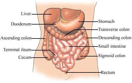 GIT anatomy